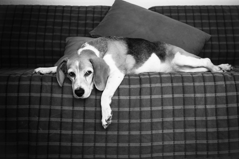 boogle-le-beagle-vie-de-chien-sliceofcactus-11